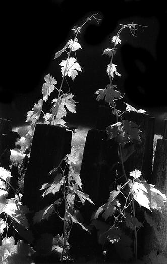 Grape Vines Black and White Image